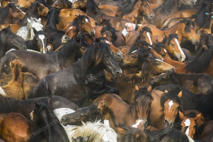 High angle view of large herd of brown wild horses.