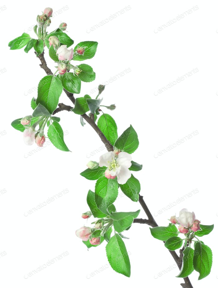 Apfelzweig in Blüte
