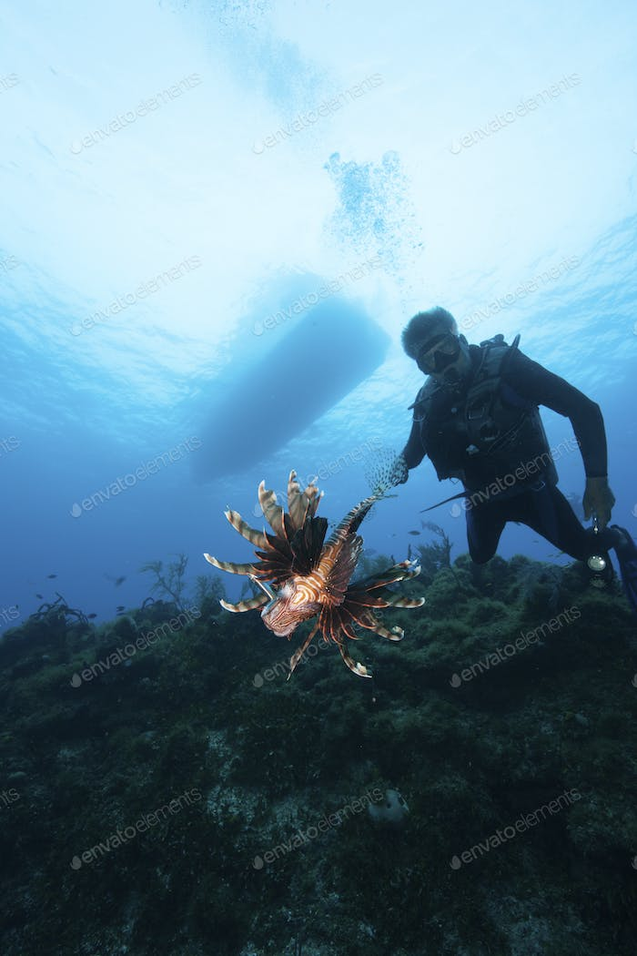 Lionfish, a non endemic species known to be a marine menace ,  shot by a licensed scuba diver.