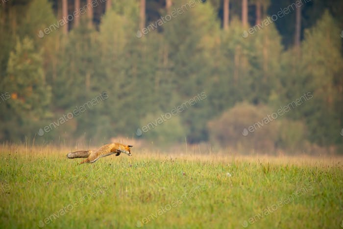 Red fox hunting on a meadow with forest in background in autumn