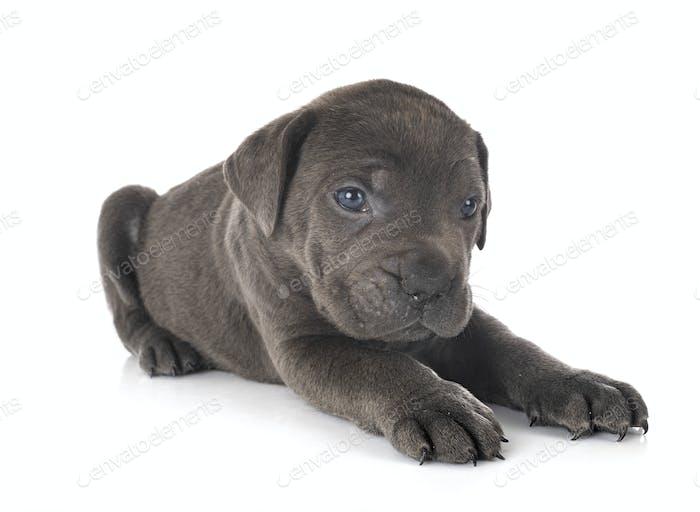 puppy cane corso