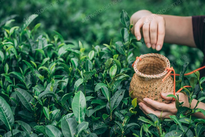 Selective focus shot of a female collecting tea leaves