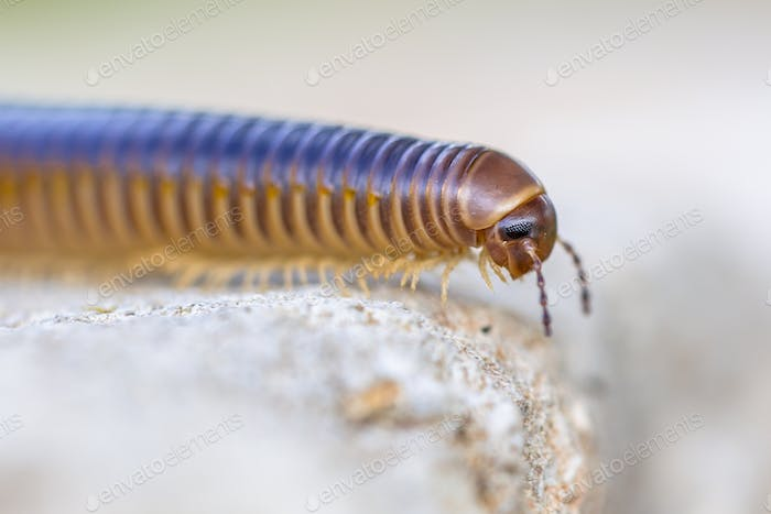 Millipede head