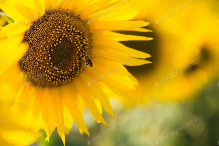 Nahaufnahme der Sonnenblume auf dem Feld