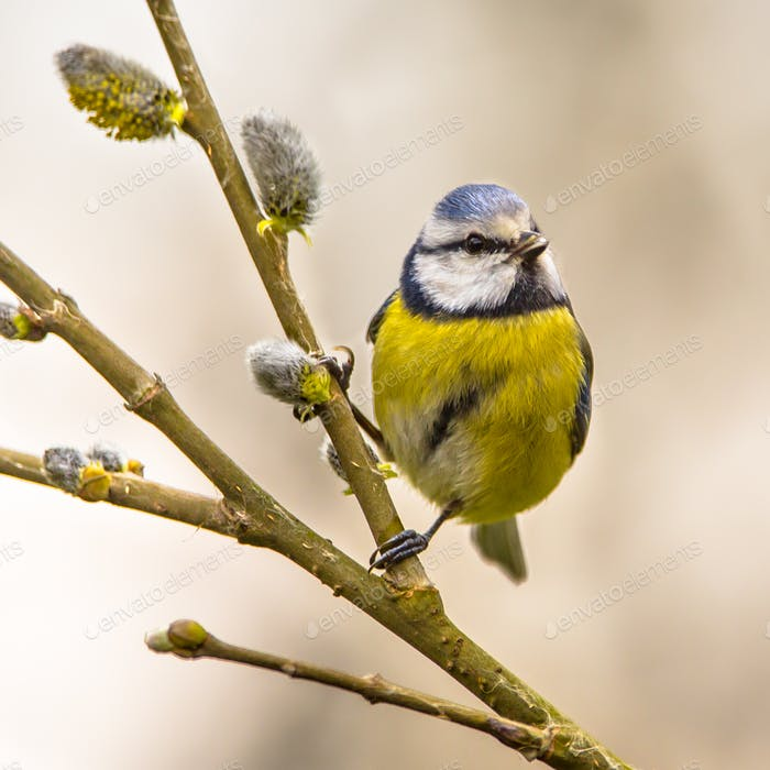 Blue tit willow twig