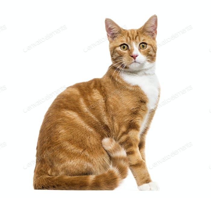 Ingwer Mixed-Rasse Katze sitzend ausgeschnitten