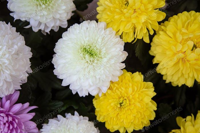 Heller Hintergrund mit viel Chrysanthemenblumentextur.