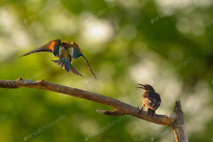 European bee-eater (Merops apiaster) and Common Starling (Sturnus Vulgaris) in natural habitat