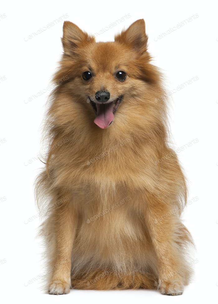 German spitz, 4 years old, sitting in front of white background,