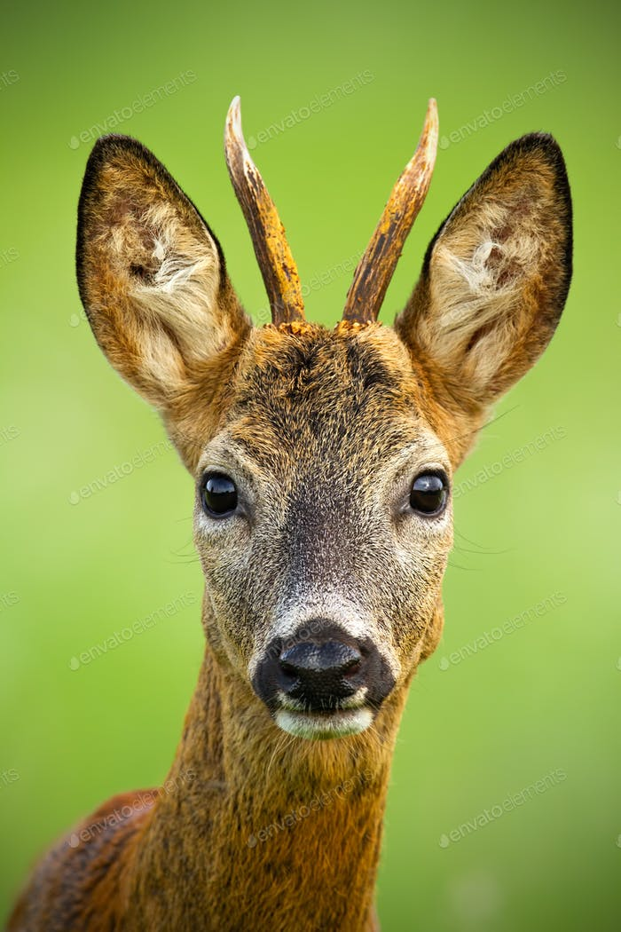 Portrait of cute roe deer, capreolus capreolus, buck in summer
