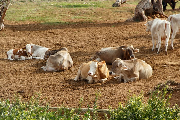 Podolic cows lying  under olive trees in Apulia Region in Italy
