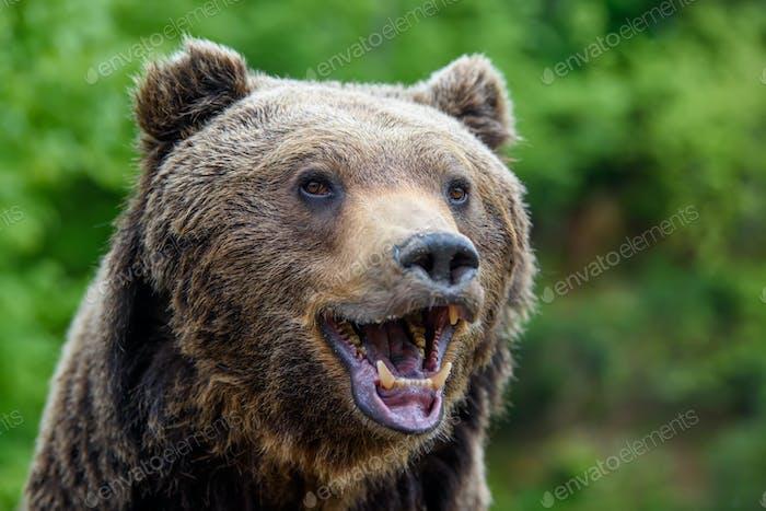 Nahaufnahme lustiges Lächeln Braunbär Porträt Gefahr Tier in der Natur Lebensraum