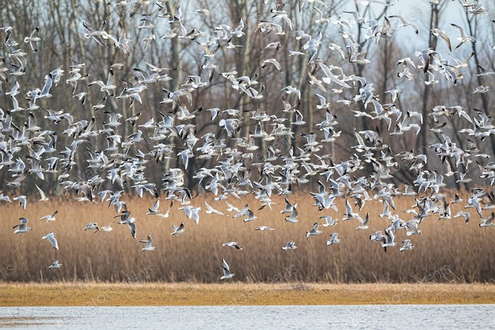 Many black-headed gulls taking off from the marsh in winter