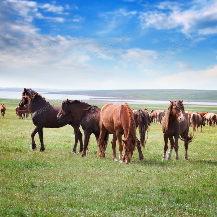Horses in a field under a blue sky with clouds