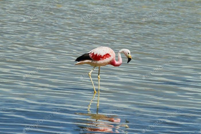 """Flamingo eating  in """"Salar de Surire"""""""