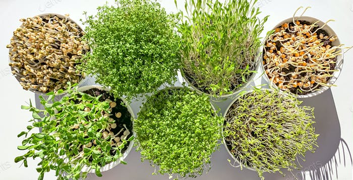 Microgreens and sprouts in white bowls from above