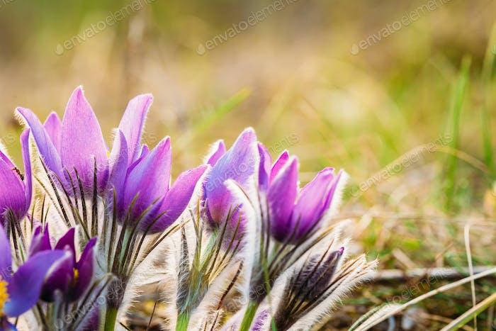 Jeune Pasqueflower sauvage au début du printemps. Fleurs Pulsatilla Pat