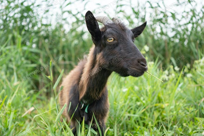 Dark brown farm goat grazing in pasture