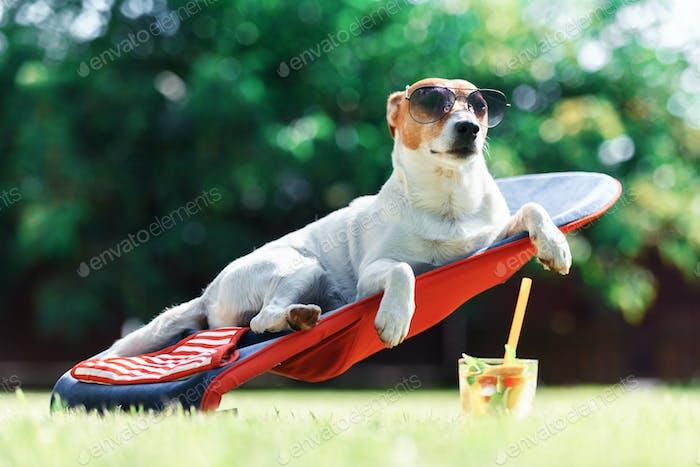 Jack Russel Terrier Hund liegt auf einem Liegestuhl