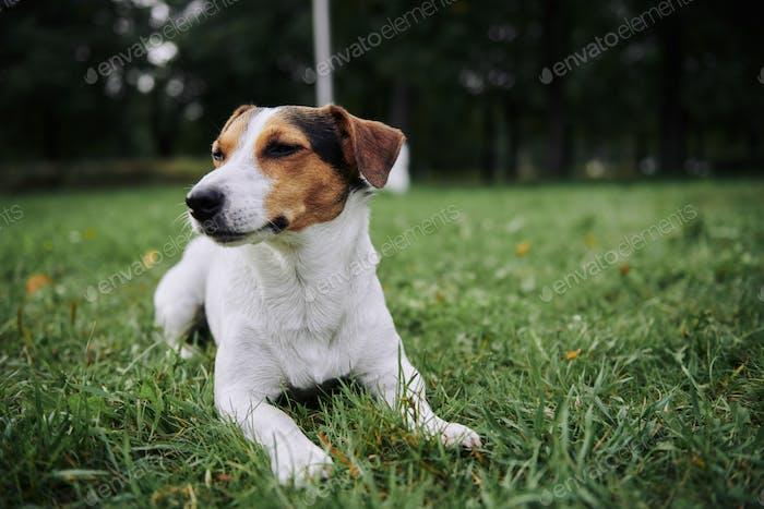 Niedlicher Hund auf Gras liegend