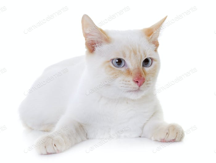white kitten in studio