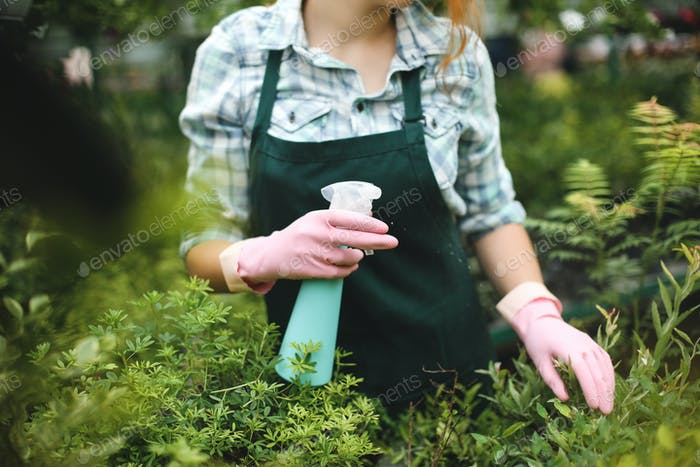 Woman hands in pink gloves spraying plants leaves in greenhouse