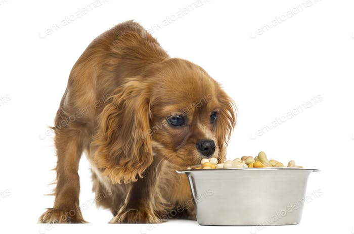 Cavalier King Charles Spaniel puppy eating from a bowl, 5 months old, isolated on white