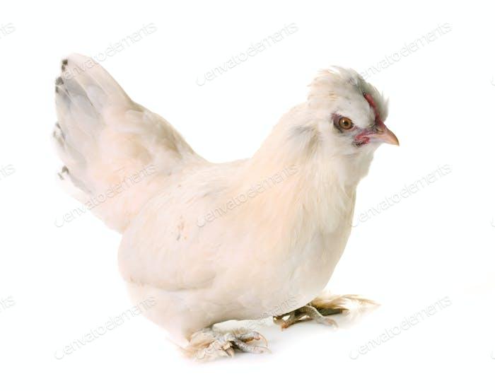 white Sultan chicken