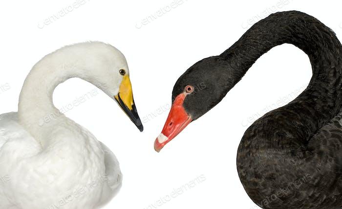 Black Swan and white Swan
