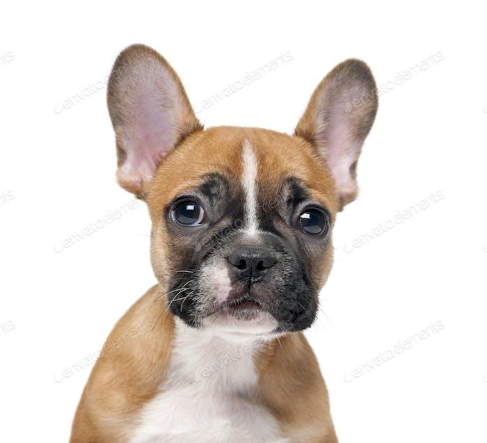 Französisch Bulldogge Welpen vor einem weißen Hintergrund
