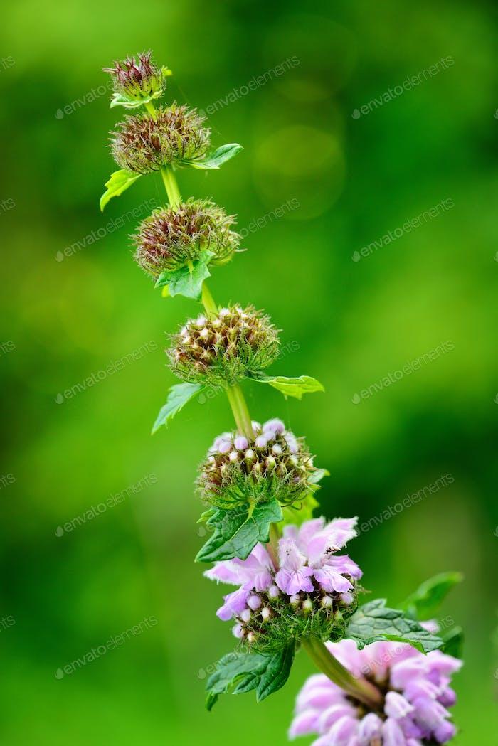 Blumen von Phlomoides tuberosa (Phlomis tuberosa)