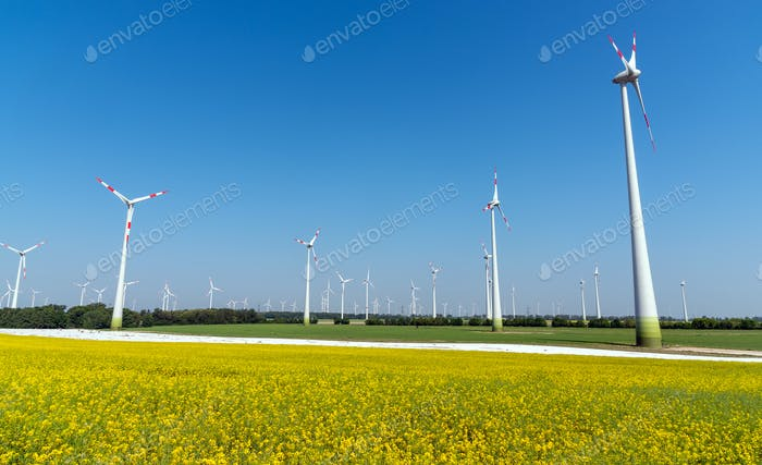 Yellow flourishing oilseed rape and lots of wind energy plants