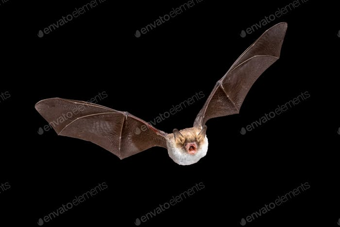 Flying Natterers bat isolated on black background