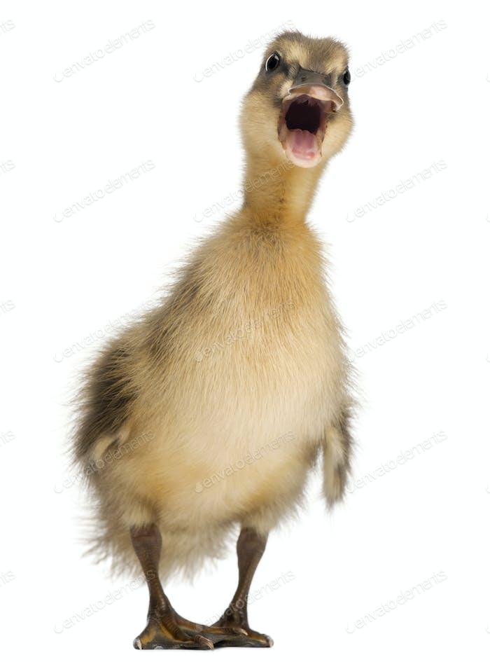 Mallard or wild duck, Anas platyrhynchos, 3 weeks old, in front of white background
