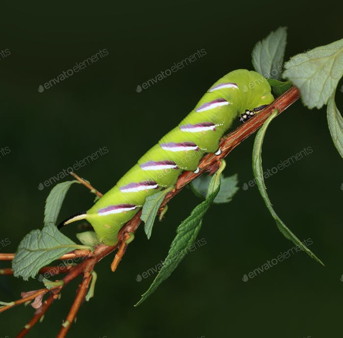 Privet-hawk moth caterpillar macro