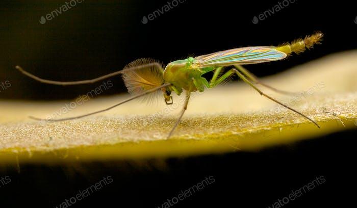 Irritisierende Mücke