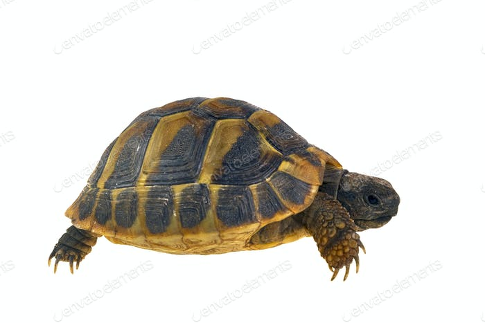 Hermann's tortoise (Testudo hermanni) isolated on white background