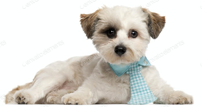 Shih Tzu, 8 months old, wearing a tie in front of white background