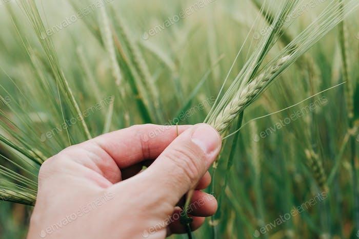 Agronomist examining ear of barley crop in field