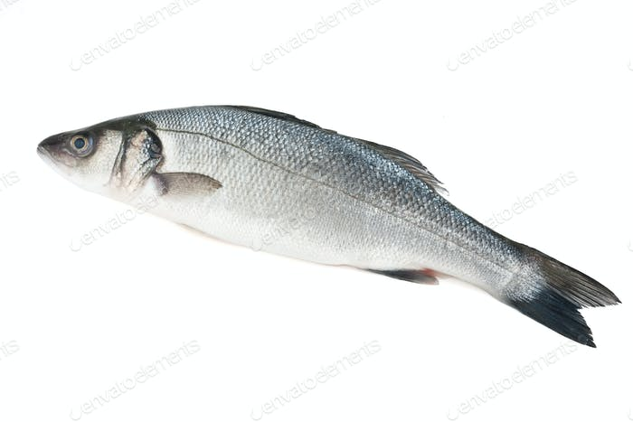 sea bass isolated