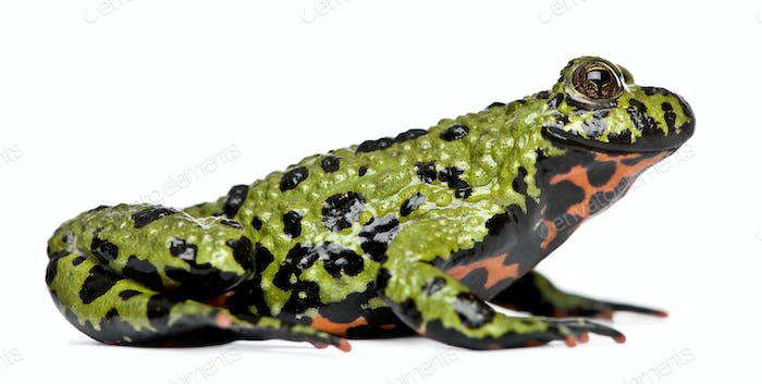 Smiling Oriental Fire-bellied Toad, Bombina orientalis, in front of white background
