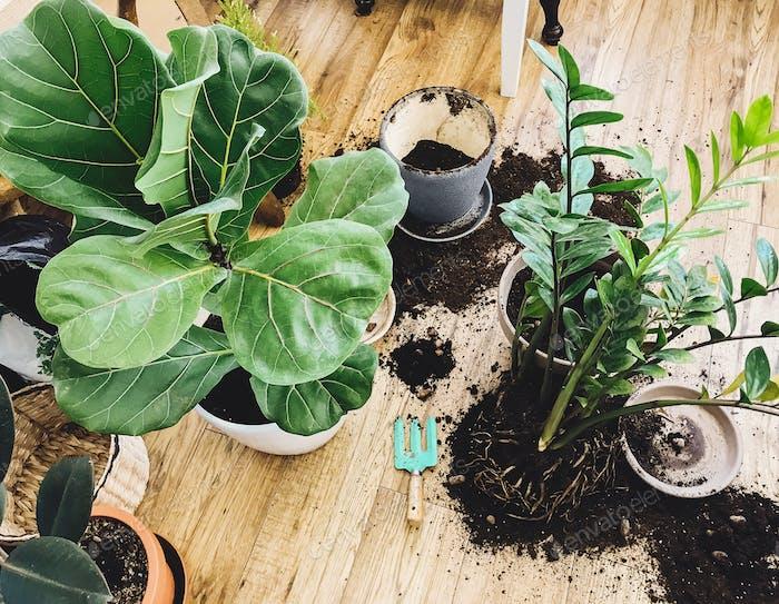 Umtopfpflanzen zu Hause