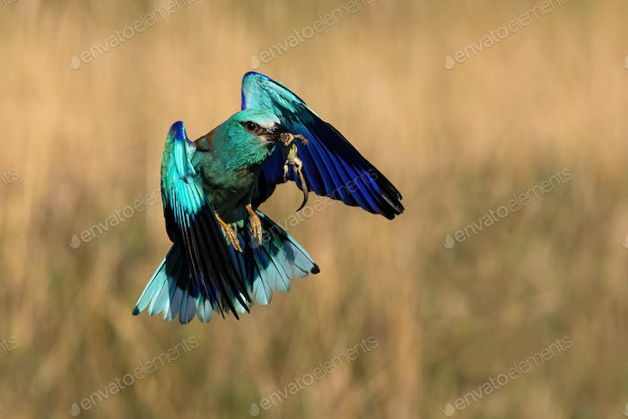 Blue european roller flying with a catch in beak in spring