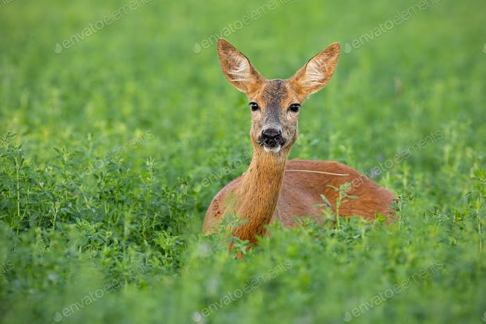 Roe deer doe standing out on clover field in summer