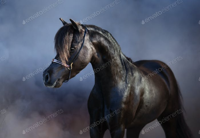 Black American miniature horse in smoke.