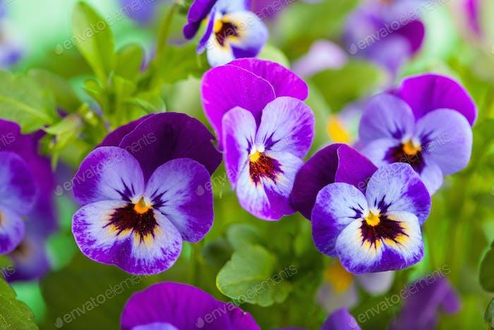 schöne Stiefmütterchen Sommerblumen im Garten