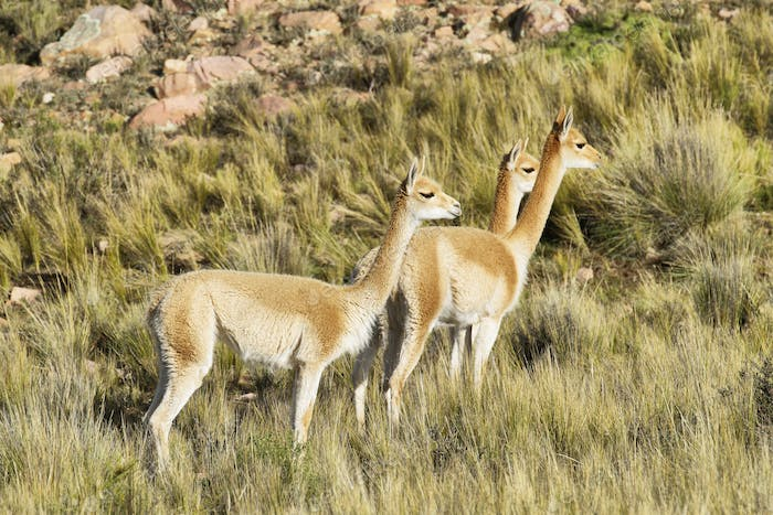 Vicunas in the meadows of Salta province