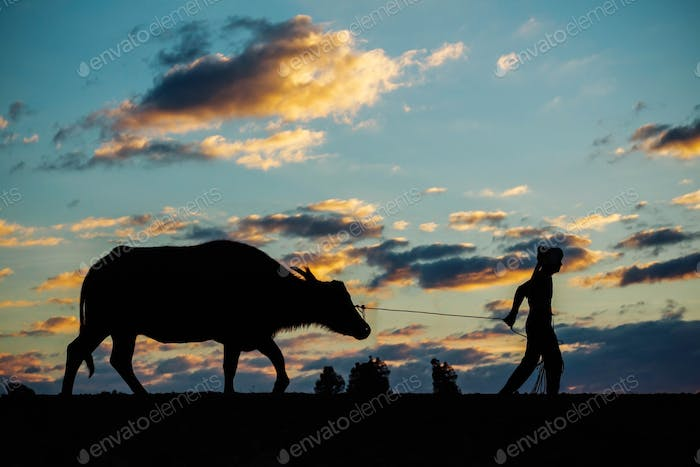 Farmers and buffaloes at sunset