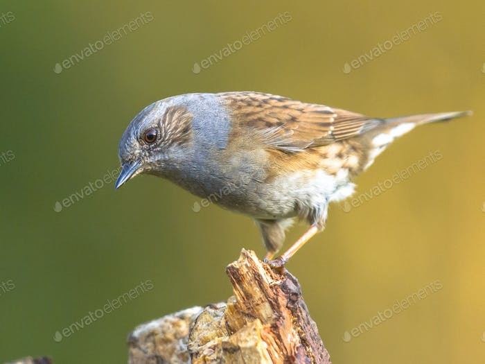 Dunnock perched on log looking down