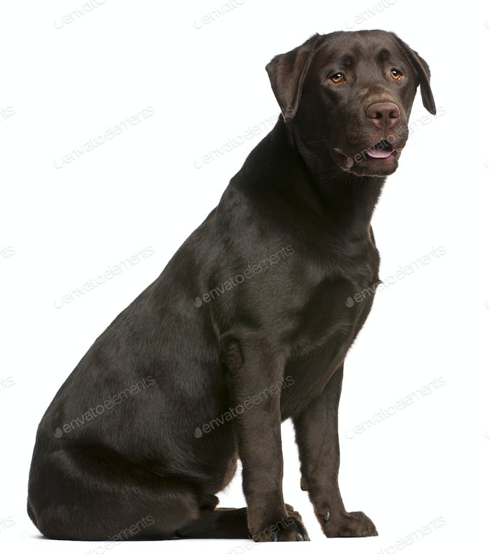Labrador Retriever, 9 months old, sitting in front of white background